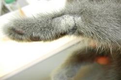 猫の皮膚糸状菌症(真菌性皮膚炎)